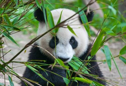 Sperm harvesting panda galleries 634