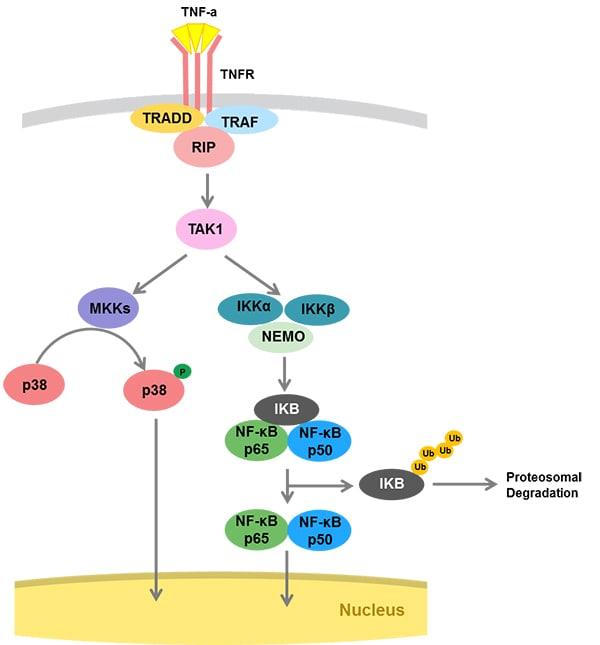TNFR pathway