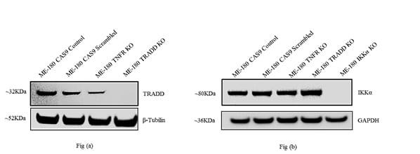 Western blot analysis of TRADD