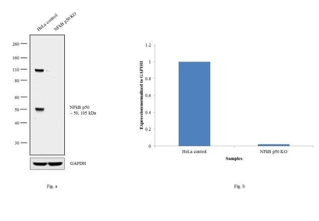 Western blot analysis of NFkB p50