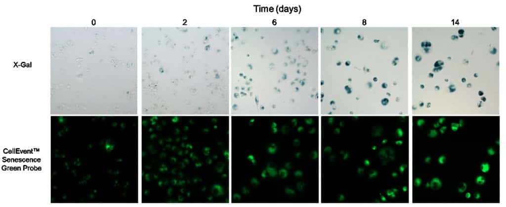 Senescent and non-senescent cells treated with CellEvent Senescence Green Probe or X-gal.