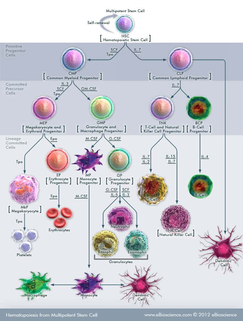 Hematopoiesis from Multipotent Stem Cells | Thermo Fisher Scientific