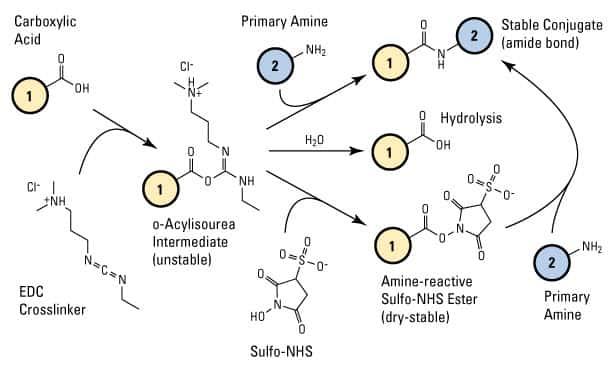 Carbodiimide Crosslinker Chemistry | Thermo Fisher Scientific - UK