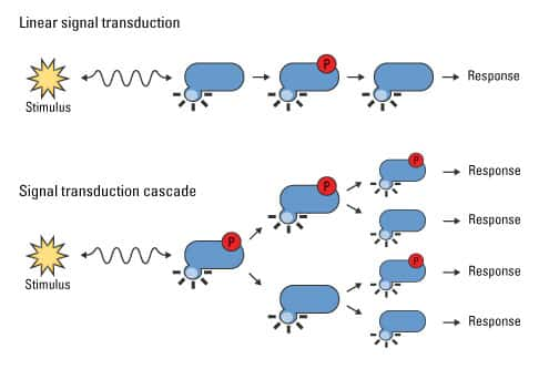 where does transduction occur