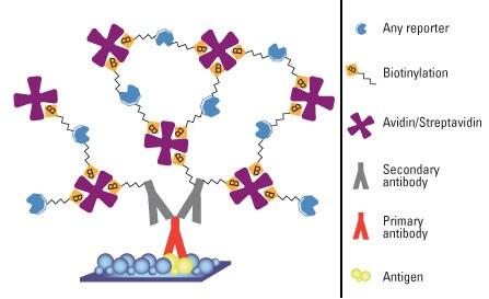 Avidin Biotin Complex Method For Ihc Detection Thermo