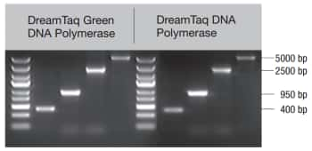 Equal PCR performance with green and colorless reaction buffer