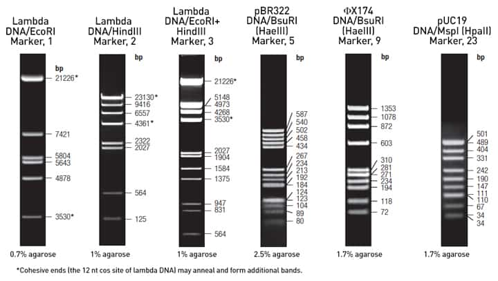 Lambda Phage Amp Plasmid Dna Markers Thermo Fisher