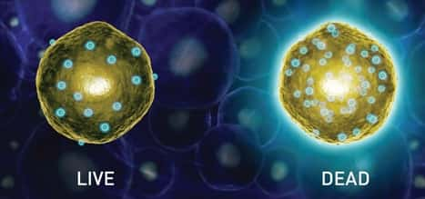 artist's rendition of two cells following use of the LIVE/DEAD stain; a nonfluorescent live cell next to a fluorescent dead cell