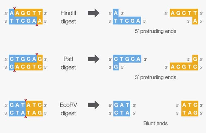 Illustration of the protruding or blunt ends produced by specific restriction enzymes