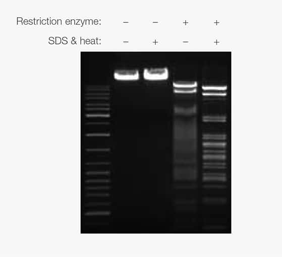electrophoresis gel image showing effect of restriction enzyme binding to DNA