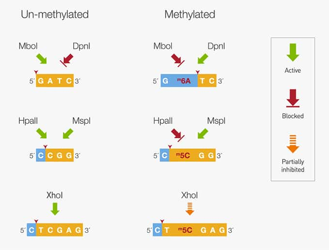 illustration showing varying sensitivity of restriction enzymes towards substrate DNA methylation
