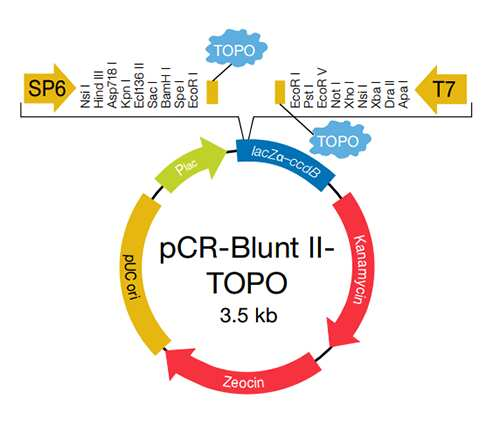 TOPO Blunt-End for Subcloning | Thermo Fisher Scientific - US