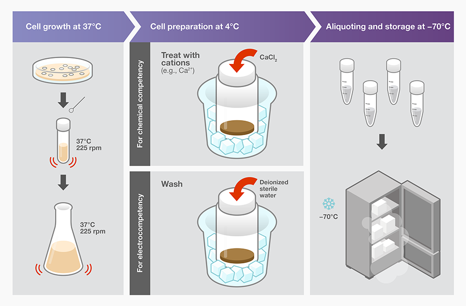 Bacterial Transformation Workflow–4 Main Steps   Thermo