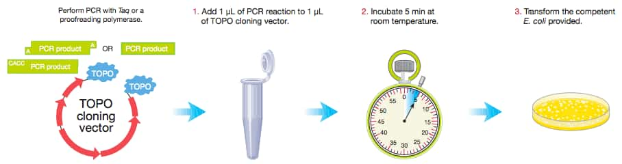 Topo ta cloning thermo fisher scientific the topo cloning protocol topo pcr cloning requires just three easy steps simply combine your pcr product and a topo cloning vector in the provided sciox Image collections