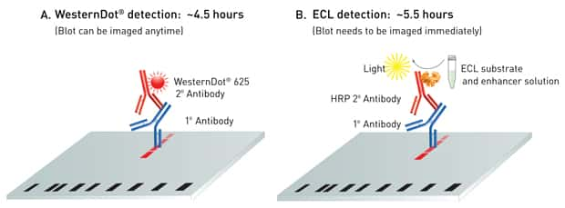 Schematic diagram of WesternDot® blot imaging