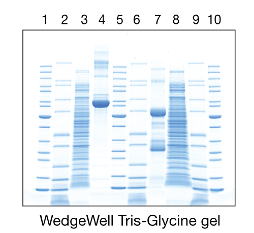 photo showing WedgeWell Tris-Glycine gel running in Mini Gel Tank