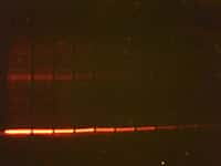 photo of gel with red-fluorescent bands