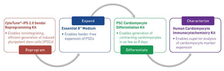 Chart showing workflow for cardiomyocyte differentiation