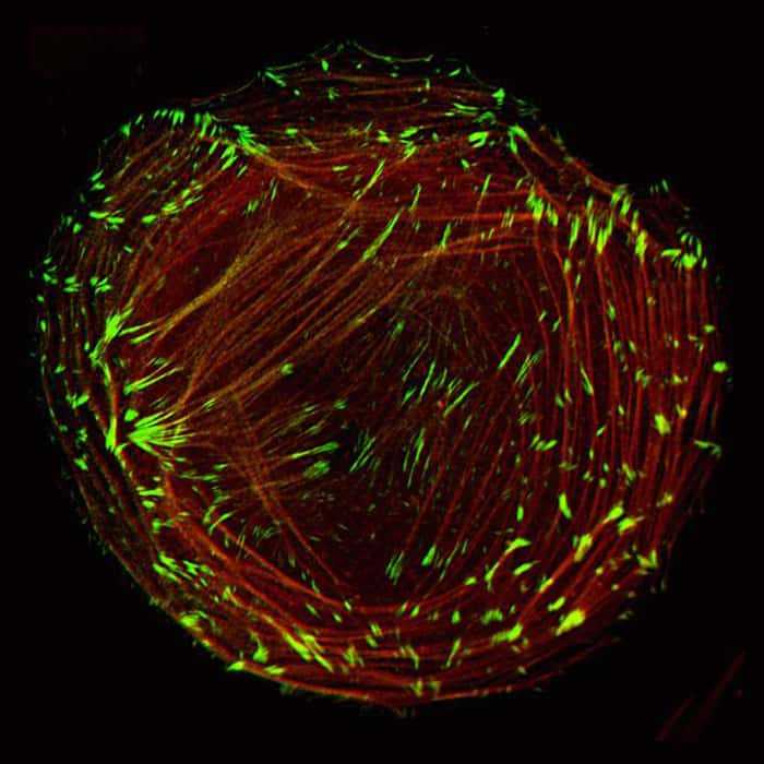 CellLight® reagents for the cytoskeleton