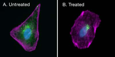 Stained cell images, with and without biotin blocking