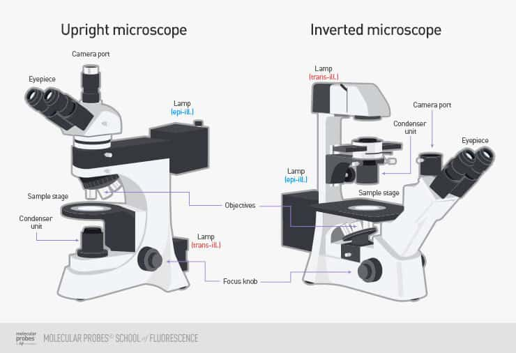 line drawings of the typical arrangements for both upright and inverted epifluorescence microscopes, with camera ports, eyepieces, lamps, sample stages, objectives, condenser units, and focus knobs marked