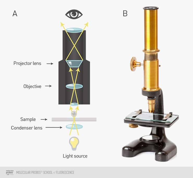 illustration showing how light travels through a basic brightfield microscope next to a photo of an antique microscope of similar construction