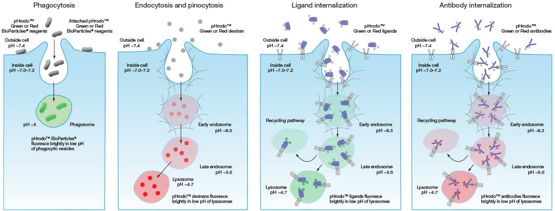 phagocytosis  endocytosis  and receptor internalization