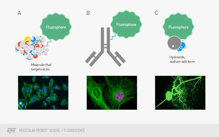Illustration showing drawings of a single fluorophore produced as different protein, antibody, and chemical salt versions, and photographs of how cells stained with each of those three versions would typically appear in fluorescence imaging experiments.></p> <p><span class=