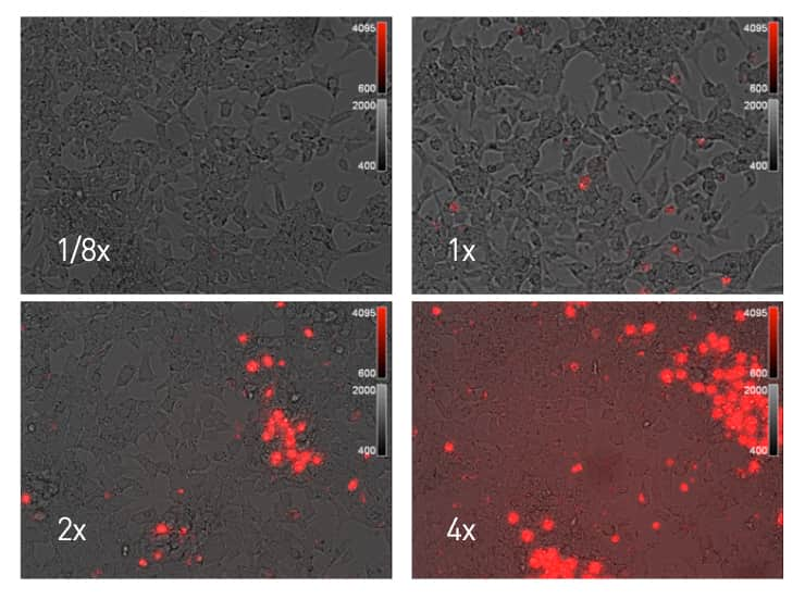 A four-panel image series showing how increasing dye concentration in a cell staining experiment can lead to increased background fluorescence.