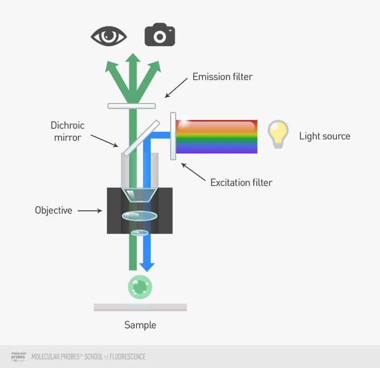 illustration showing full-spectrum light passing through the excitation filter, being deflected by the dichroic mirror, passing through the objective, striking the sample, traveling back through the objective, onto the dichroic mirror, through the emission filter, and finally to the camera or the viewer's eye