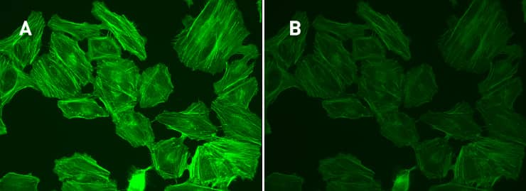 Side-by-side stained cell images showing an intensely fluorescent image (right panel) that dims over time with exposure to illumination from the microscope (right panel).