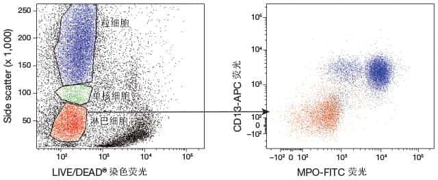 flow cytometry scatter plot showing granulocyte, monocyte, and lymphocyte populations via side scatter analysis and live-cell staining with a second scatter plot of just the lymphocytes showing three subpopulations distinguished by CD13 and MPO staining