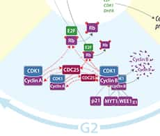 section of a line drawing showing a mammalian cell signal transduction pathway