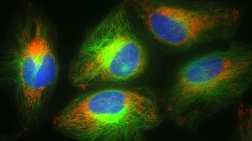 HeLa cells labeled using NucBlue Live ReadyProbes Reagent, Tubulin Tracker Green, and CellLight Mitochondria-RFP show superb multiplexing capability and staining specificity.