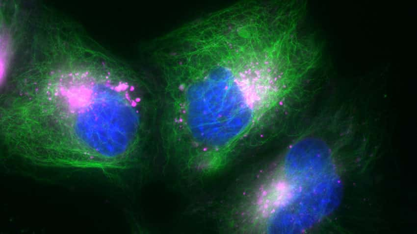 HeLa cells labeled using NucBlue Live ReadyProbes Reagent, Tubulin Tracker Green dye, and Invitrogen LysoTracker Deep Red dye show superb multiplexing capability and staining specificity.
