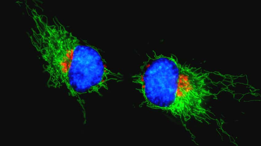 HeLa cells grown in MEM with 10% FBS were transduced with CellLight Mitochondria-RFP and CellLight Golgi-RFP.