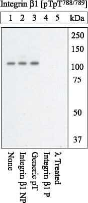 Western blot analysis of Integrin β1