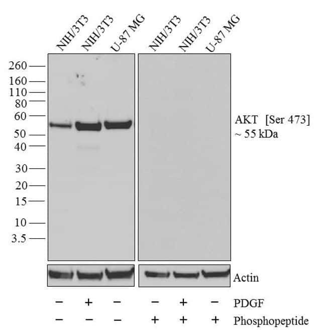 Western blot analysis of AKT [pS473]