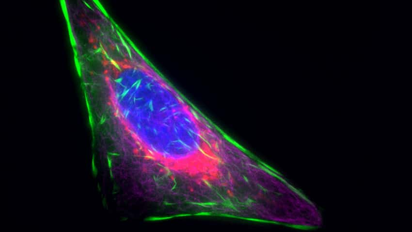 U2OS cells labeled using NucBlue Live ReadyProbes Reagent, CellLight Actin-GFP, CellLight Mitochondria-RFP, and Tubulin Tracker Deep Red show superb multiplexing capability and staining specificity.
