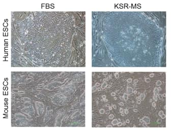 Phase contrast images of human and mouse ESC colonies cultured in FBS-based medium or KSR-MS-based medium.