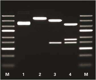 FastDigest Restriction Enzymes—Thermo Scientific | Thermo
