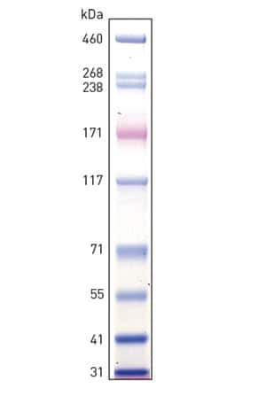 HiMark Prestained Protein Standard