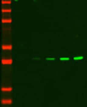Infrared western blot detection of ERK1 using DyLight 755-conjugated secondary antibody