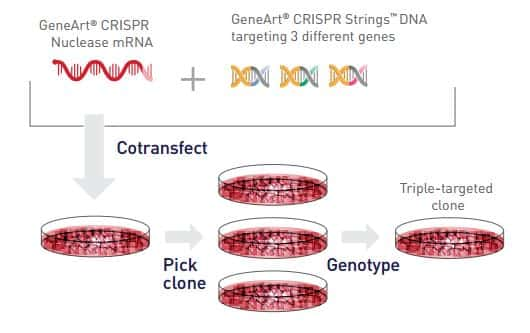 diagram showing multiplex genome editing transfection strategy