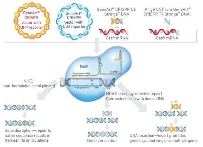 diagram showing the various GeneArt CRISPR genome editing tools