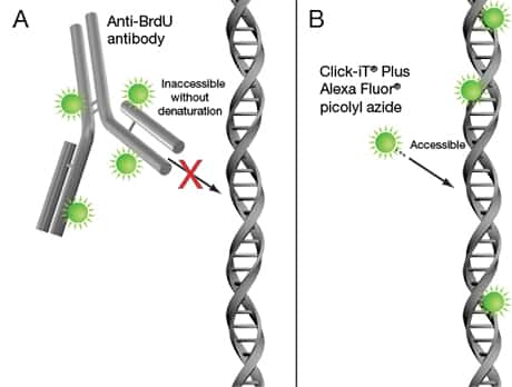 Illustration showing detection of incorporated BrdU with an anti-BrdU antibody, compared with detection of incorporated EdU with the Alexa Fluor® picolyl azide