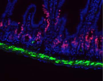 Image showing detection of cell proliferation and GFP fluorescence in mouse tissue