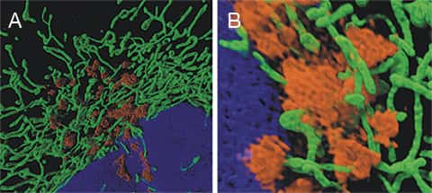 Two panel figure of three-color SIM images of HeLa cells transduced with CellLight® Mitochondria-GFP and CellLight® Golgi-RFP