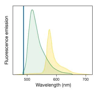 Spectra of fluorescein and R-phycoerythrin emission demonstrating spectral overlap