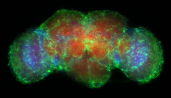 Aged adult Drosophila brain showing glial-specific GFP expression and actin-selective fluorescent staining